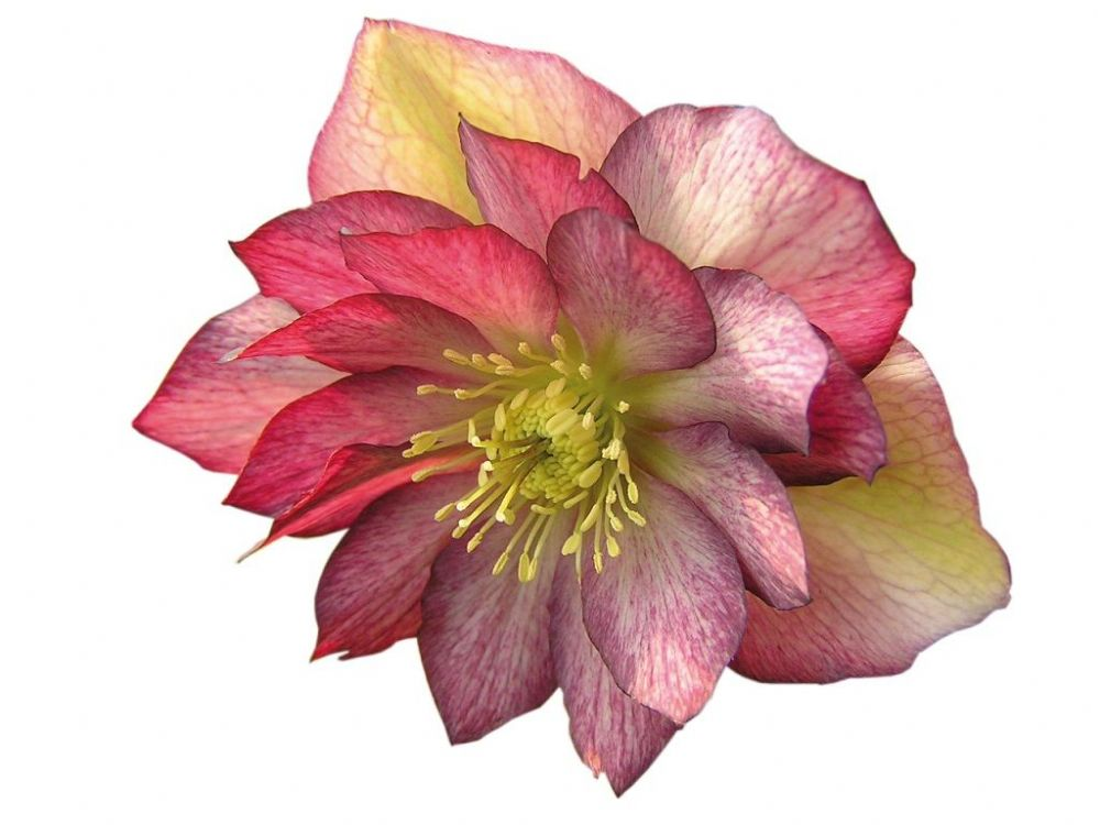 Helleborus Stained Glass x 1.5 Litre